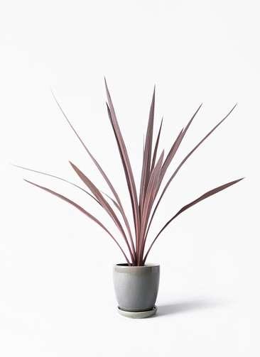 観葉植物 コルディリネ (コルジリネ) レッドスター 4号 アステア トール ライトグレー 付き