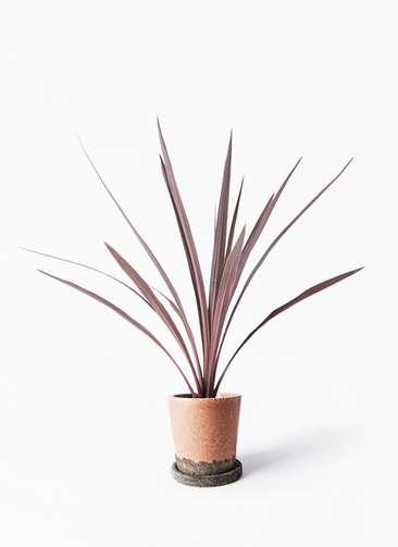 観葉植物 コルディリネ (コルジリネ) レッドスター 4号 ヴィフポット サーモンピンク 付き