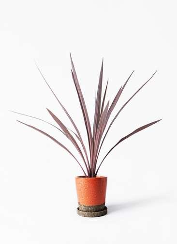 観葉植物 コルディリネ (コルジリネ) レッドスター 4号 ヴィフポット オレンジ 付き