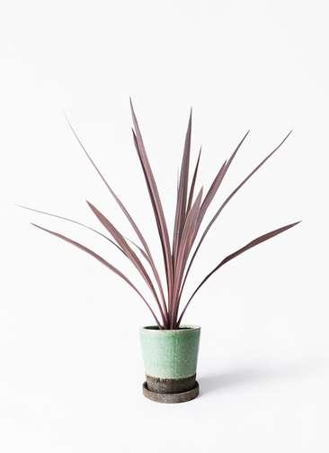 観葉植物 コルディリネ (コルジリネ) レッドスター 4号 ヴィフポット ミントグリーン 付き