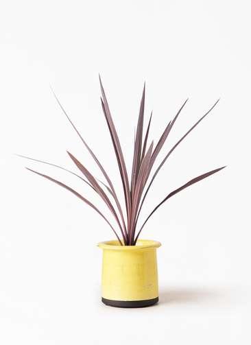 観葉植物 コルディリネ (コルジリネ) レッドスター 4号 アンティークテラコッタ イエロー 付き