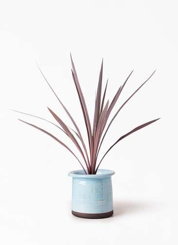 観葉植物 コルディリネ (コルジリネ) レッドスター 4号 アンティークテラコッタ ブルー 付き