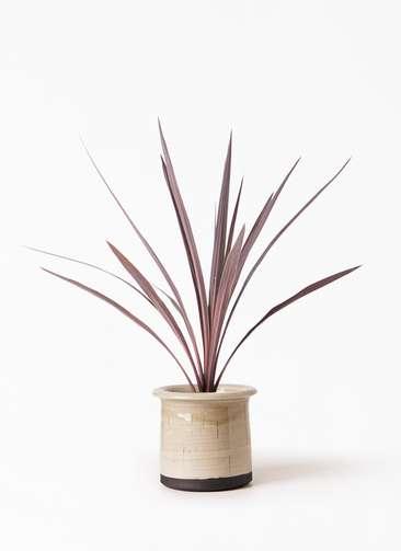 観葉植物 コルディリネ (コルジリネ) レッドスター 4号 アンティークテラコッタ グレイ 付き
