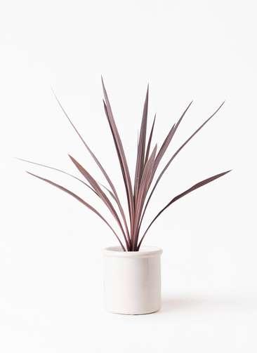 観葉植物 コルディリネ (コルジリネ) レッドスター 4号 アンティークテラコッタ ホワイト 付き