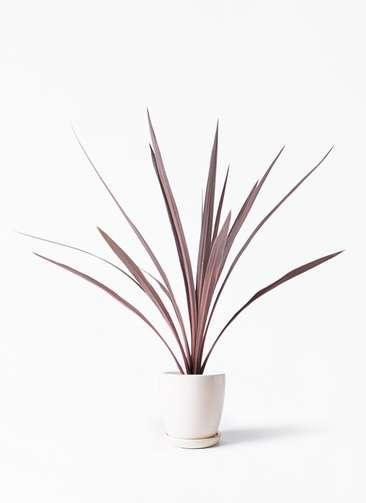 観葉植物 コルディリネ (コルジリネ) レッドスター 4号 アステア トール ホワイト 付き