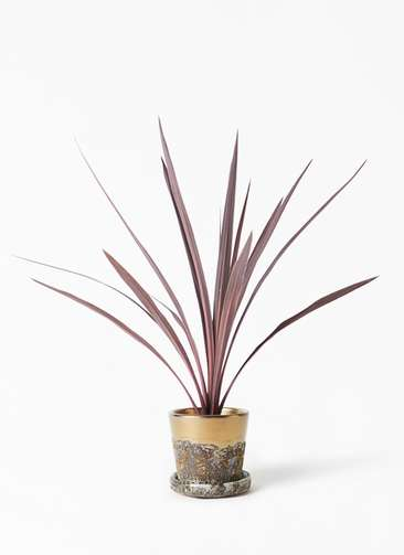 観葉植物 コルディリネ (コルジリネ) レッドスター 4号 ハレー ブロンズ 付き