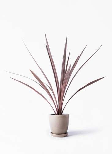観葉植物 コルディリネ (コルジリネ) レッドスター 4号 アステア トール ベージュ 付き