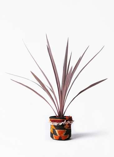 観葉植物 コルディリネ (コルジリネ) レッドスター 4号 キリムポット 付き