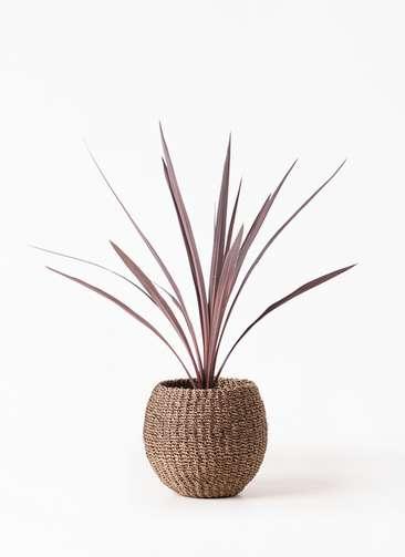 観葉植物 コルディリネ (コルジリネ) レッドスター 4号 アバカバスケット スモーク 付き