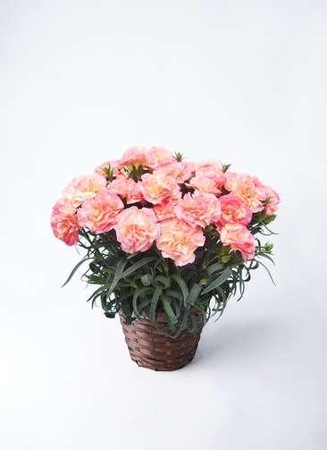 【母の日ギフト】鉢花 カーネーション 5号 フロリア-ヌ ピンク 竹バスケット 付き