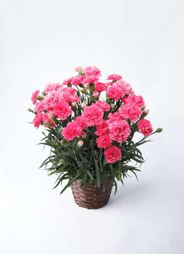 【母の日ギフト】鉢花 カーネーション 5号 クレア ピンク 竹バスケット 付き