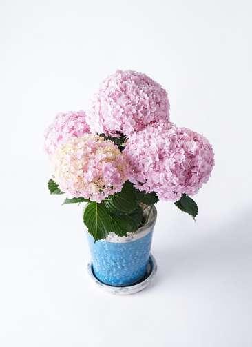 【母の日ギフト】鉢花 アジサイ 5号 てまりてまり ピンク アンティークテラコッタBlue 付き