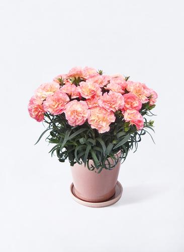 【母の日ギフト】鉢花 カーネーション 5号 フロリアーヌ ピンク ベラ ピンクパープル 付き