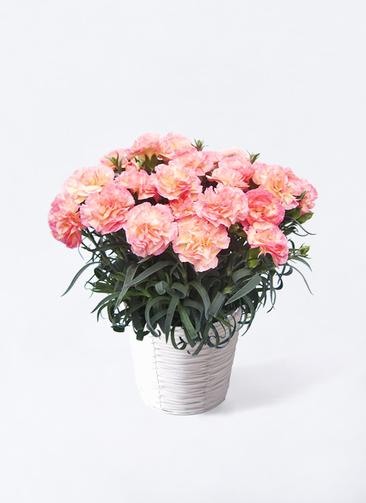 【母の日ギフト】鉢花 カーネーション 5号 フロリアーヌ ピンク ホワイトバスケット 付き