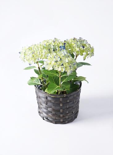 【母の日ギフト】鉢花 あじさい 5号 ラグーン 竹バスケット 付き