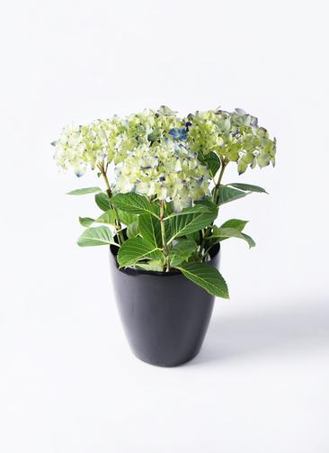 【母の日ギフト】鉢花 あじさい 5号 ラグーン ラスターポット ブラック 付き