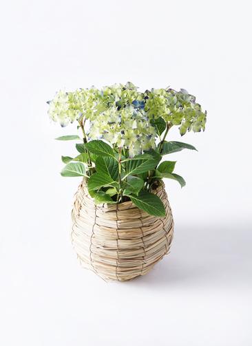 【母の日ギフト】鉢花 あじさい 5号 ラグーン バスケット 付き