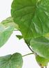 観葉植物 フィカス ウンベラータ 6号 ノーマル リブバスケットNatural and Black 付き 2枚目