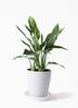 観葉植物 アグラオネマ 4号 プラスチック鉢