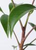 観葉植物 ツピダンサス 3.5号 ボサ造り アステア トール ベージュ 付き 2枚目