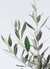 観葉植物 オリーブの木 8号 ピクアル 竹バスケット 付き 2枚目