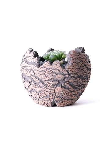 多肉植物 ハオルチア オブツーサ ピリフェラ トルンカータ S 3号 Type01 fang 【S size】