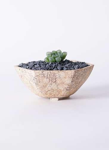 多肉植物 ハオルチア オブツーサ ピリフェラ トルンカータ S 3号 Type02 desert #δ 【L size】