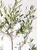 観葉植物 オリーブの木 8号 カラマタ フォンティーヌトール 白 付き 2枚目