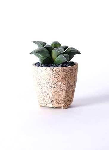 多肉植物 ハオルチア レツーサ系 実生選抜 3.5号 Type02 desert #β 【M size】