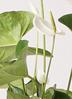 観葉植物 アンスリウム 6号 ホワイト エコストーンGray 付き 2枚目