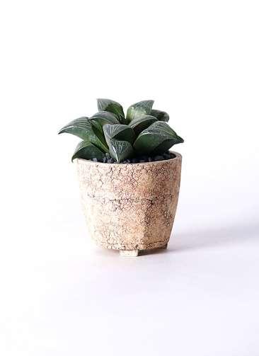 多肉植物 ハオルチア レツーサ系 実生選抜 3.5号 Type02 desert #β 【S size】