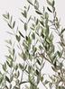 観葉植物 オリーブの木 8号 マンザニロ プラスチック鉢 2枚目