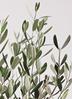 観葉植物 オリーブの木 8号 ルッカ プラスチック鉢 2枚目