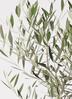 観葉植物 オリーブの木 10号 ピクアル ジュピター 黒 付き 2枚目