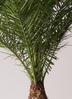 観葉植物 フェニックスロベレニー 10号 プラスチック鉢 2枚目