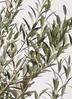 観葉植物   オリーブの木 8号 アルベキーナ ラスターポット 付き 2枚目