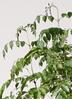 観葉植物 シマトネリコ 10号 エルバ 白 付き 2枚目