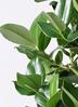 観葉植物 クルシア ロゼア プリンセス 8号 セドナロング グレイ 付き 2枚目