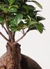 観葉植物 ガジュマル 6号 股仕立て プラスチック鉢 2枚目