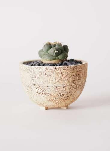 サボテン コリファンタ 象牙丸(ぞうげまる) 3号 Type02 desert #γ 【S size】