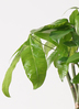 観葉植物 パキラ 6号 ねじり プラスチック鉢 2枚目
