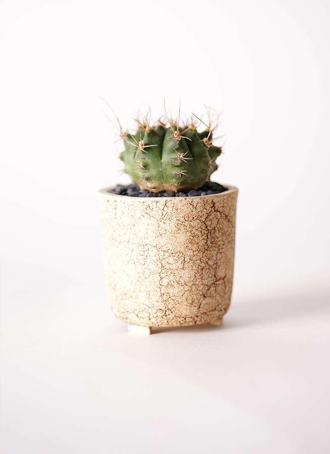 サボテン ギムノカリキウム 翠晃冠(すいこうかん) 2.5号 Type02 desert #α 【S size】