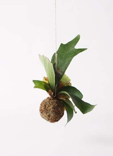 観葉植物 コウモリラン 苔玉 Sサイズ