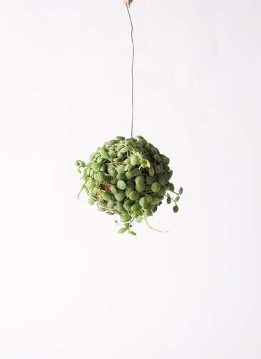 観葉植物 ディスキディア ボール Sサイズ