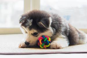 犬が喜ぶおもちゃ9選。犬が楽しんで遊ぶおもちゃをあげよう