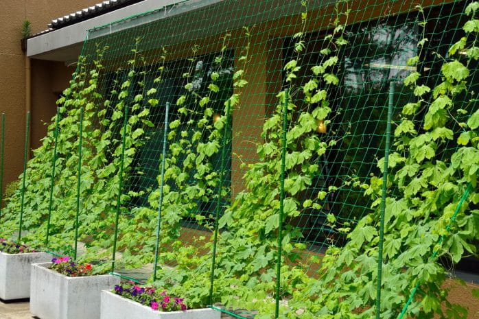 グリーンカーテンの効果とメリット&デメリットを紹介