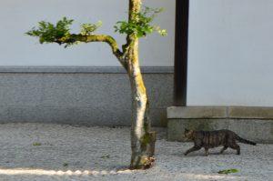日本庭園を歩く猫