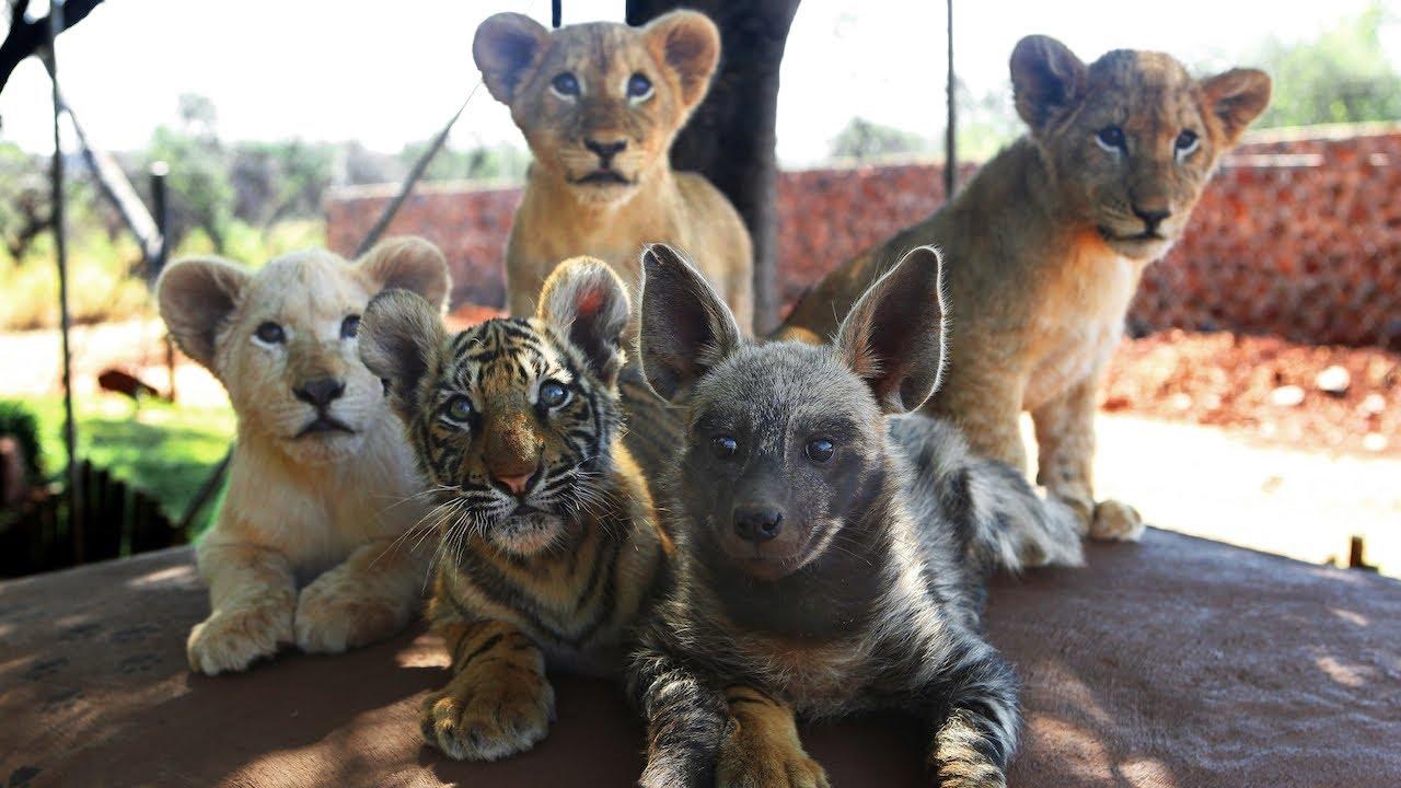可愛的動物寶寶:獅虎犬一家