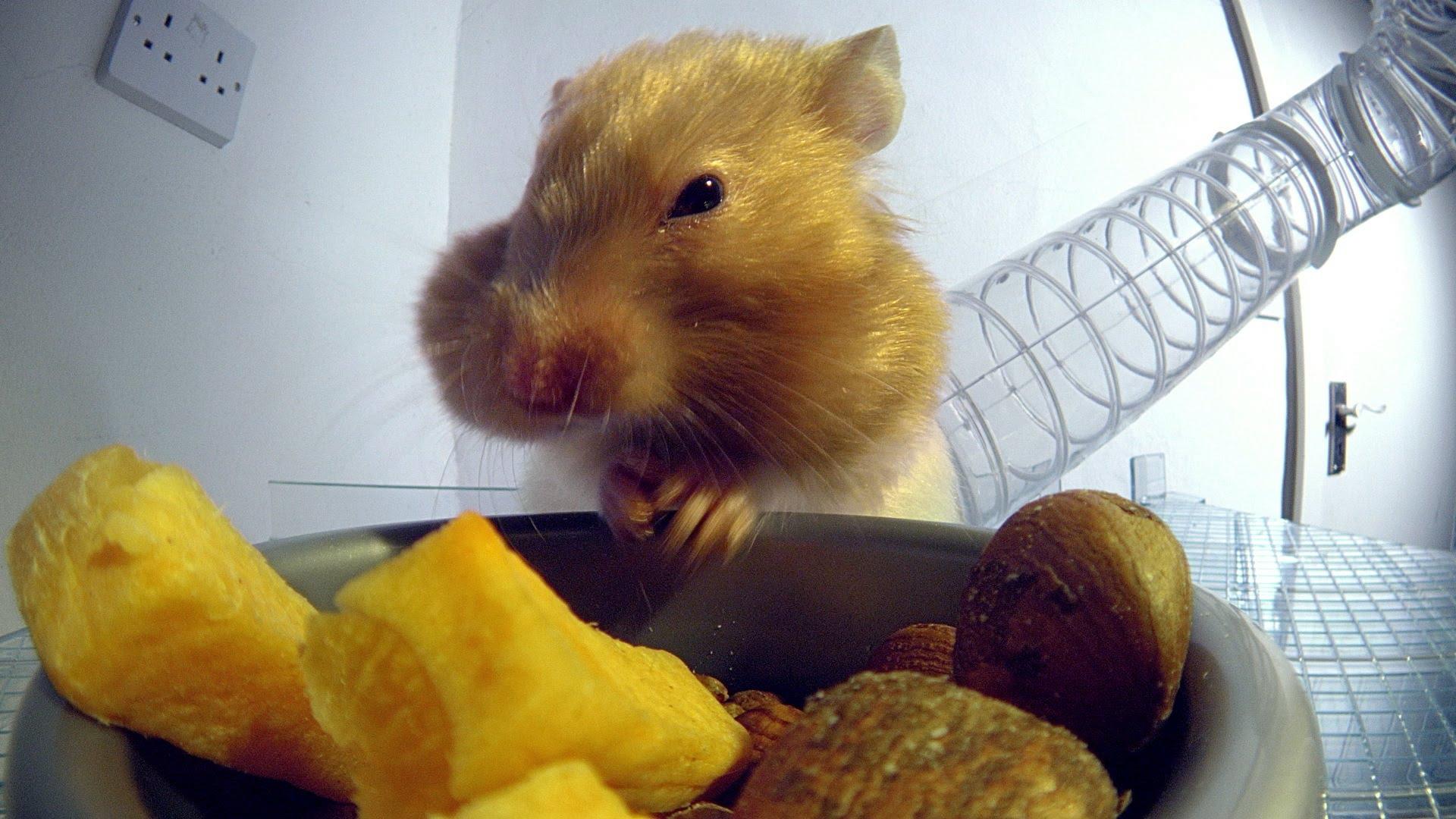 小倉鼠的相關英文,神奇無底雙頰,究竟能裝多少東西?