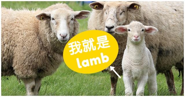 小羊 英文